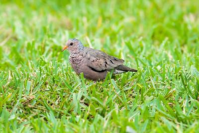 Common Ground-Dove (Columbina passerina)