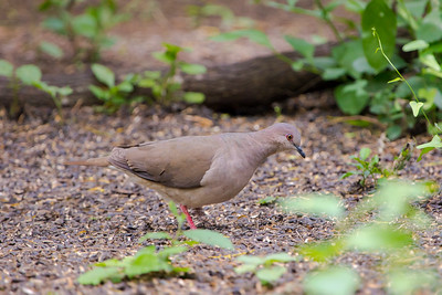 White-tipped Dove (Leptolila verreauxi)
