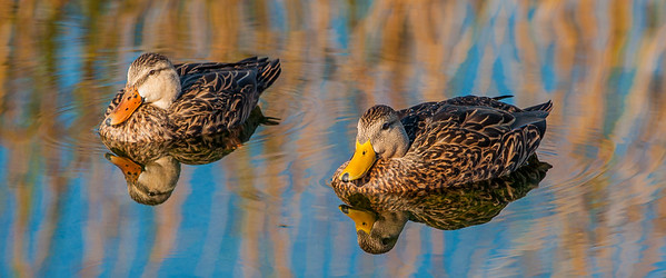 Mottled Ducks (Anas fulvigula)