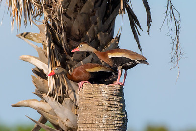 Black-bellied Whistling-ducks (Dendrocygna autumnalis)