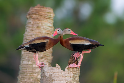 Black-bellied Whistling-ducks (Dendrocygna autumnalis)