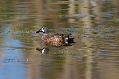 Blue-winged Teal (Anus discors)