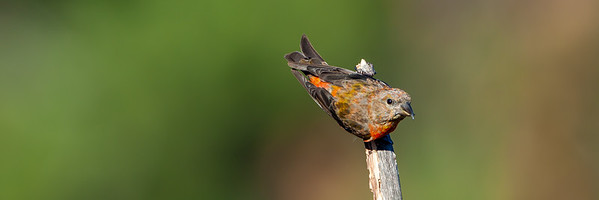 Red Crossbill (Loxia curvirostra)