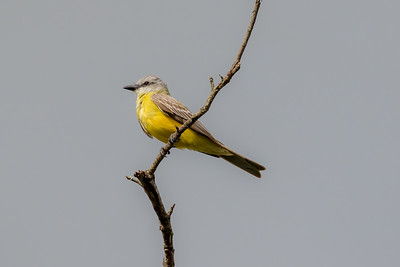 Couch's Kingbird (Tyrannous couchii)