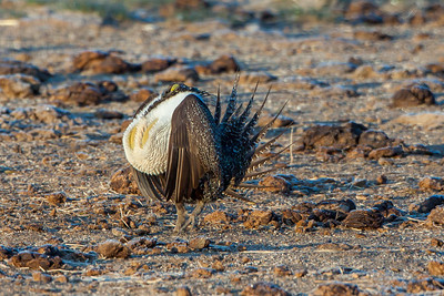Greater Sage-Grouse (Centrocerus urophasianus)