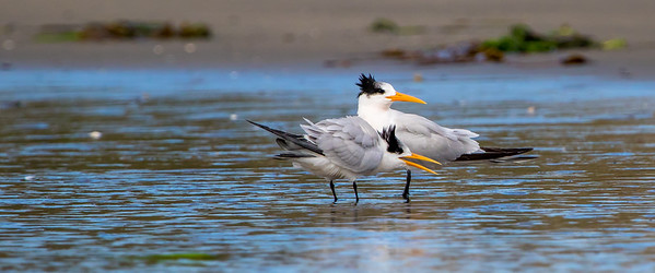 Elegant Terns; October 18, 2010; Elkhorn Slough National Estuarine Research Reserve, Monterey County, California