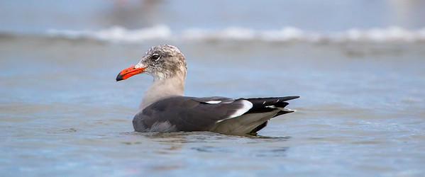 Heerman's Gull (Larus heermanni)