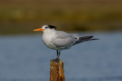 Royal Tern; October 18, 2010; Elkhorn Slough National Estuarine Research Reserve, Monterey County, California