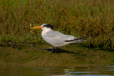 Elegant Tern; October 18, 2010; Elkhorn Slough National Estuarine Research Reserve, Monterey County, California