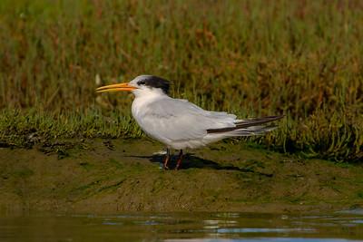 Elegant Tern; October 18, 2010; Elkhorn Slough National Estuarine Research Reserve, Monterey County, California