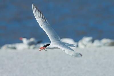 Caspian Tern (Hydroprogne cassia)