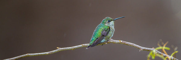 Ruby-throated Hummingbird (Archilochus colubrids)