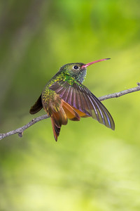 Buff-bellied Hummingbird (Amazilia yucatanensis)