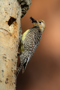 Williamson's Sapsucker (Sphyrapicus thyroideus)