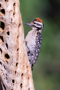 Ladder-backed Woodpecker (Picoides scalars)