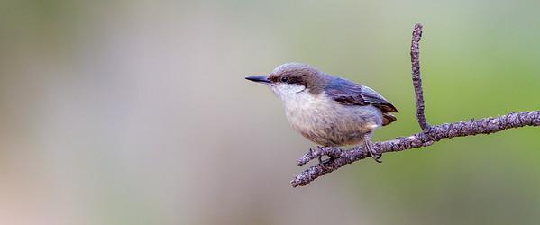 Pygmy Nuthatch (Sitta pygmaea)