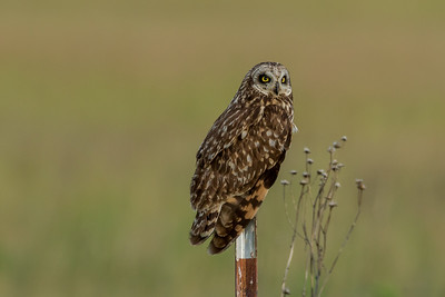 Short-earned Owl (Asio flammeus)