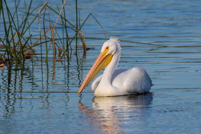 White Pelican (Pelicanus erythrorhynchos)