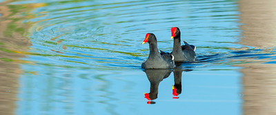 Common Moorhens (Gallinula chloropus)