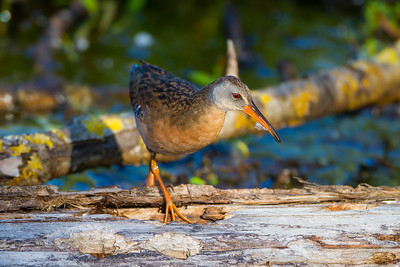 Virginia Rail (Rallus limicola)
