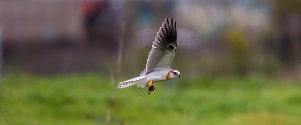 White-tailed Kite (Elanus leucurus)
