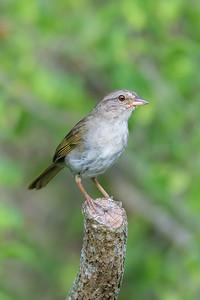 Olive Sparrow (Arremonops rufivirgatus)