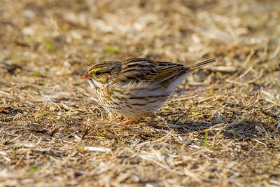 Savannah Sparrow (Passerculus sandwichensis)