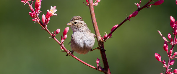 Brewer's Sparrow (Spizella breweri)