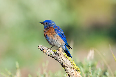 Male Western Bluebird; May 31, 2014; Lake County, Cabin Lake, Oregon