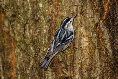 Black-and-White Warbler (Mniotilta vary)