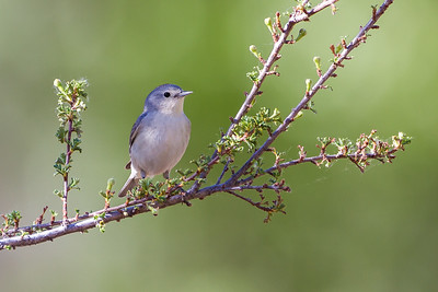 Lucy's Warbler (Oreothlypis luciae)