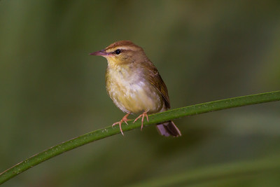 Swainson's Warbler (Limnothlypis swainsonii)
