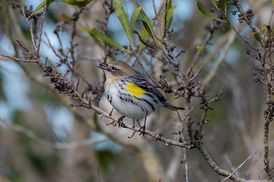 "Yellow-rumped Warbler ""Myrtle"" (Steophaga coronate)"