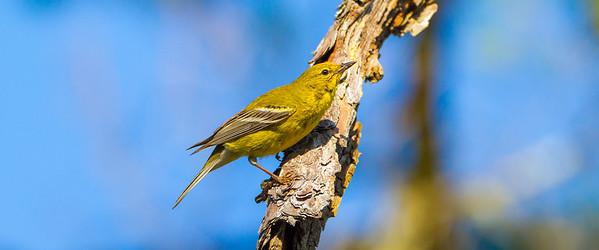 Pine Warbler (Setophaga minus)
