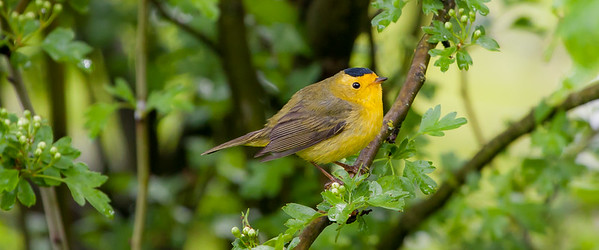 Hooded Warbler (Setophaga citrine)