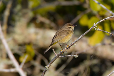 Palm Warbler (Setophaga palmarum)