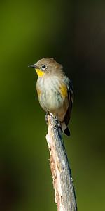 "Yellow-rumped Warbler ""Audubons"" (Steophaga coronate)"