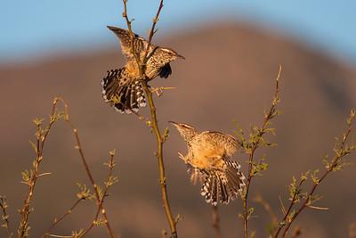 Cactus Wrens (Campylorhyrnchus brunneicapillus)