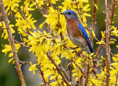 Eastern Bluebird on Forsythia Bush