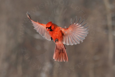 Cardinal, Northern [In-Flight]