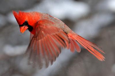 Cardinal, Northern [Winter]