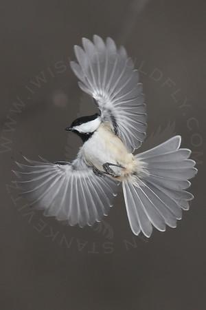 Chickadee, Black-Capped [In-Flight]