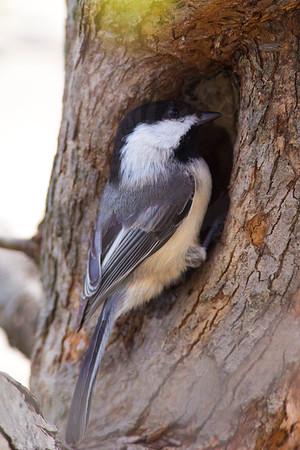 Chickadee, Black-Capped [Nest]