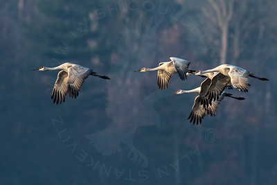 Crane, Sandhill [In-Flight]