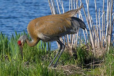 Crane, Sandhill [Nest]
