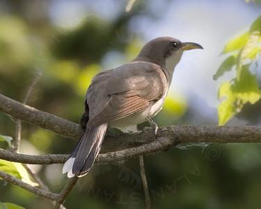 Cuckoo, Yellow-Billed