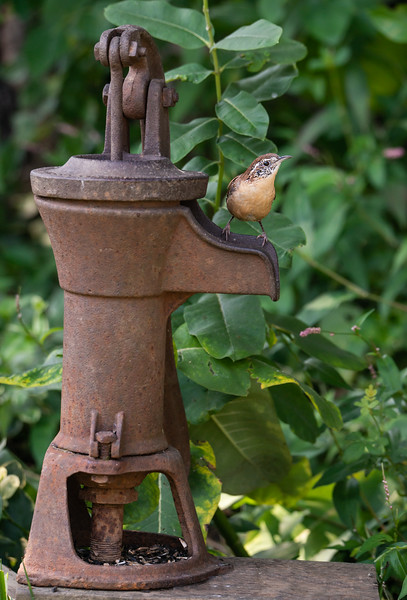 Carolina Wren on old water pump