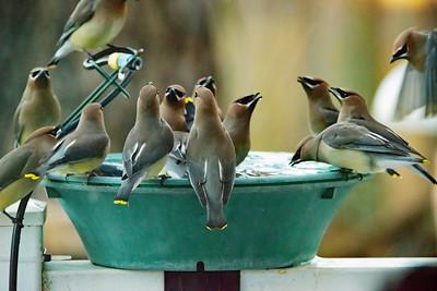Cedar Waxwing flock on birdbath