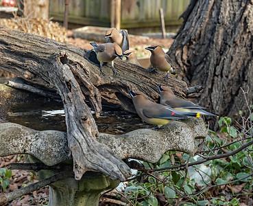 Cedar Waxwings enjoy a drink from the birdbath.