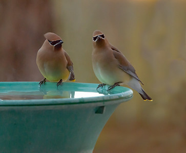 Cedar Waxwing couple on birdbath.